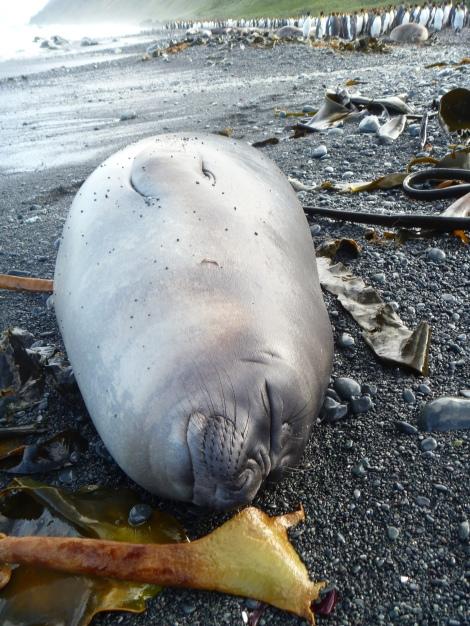 Elephant Seal Weaner_ Jaimie Cleeland