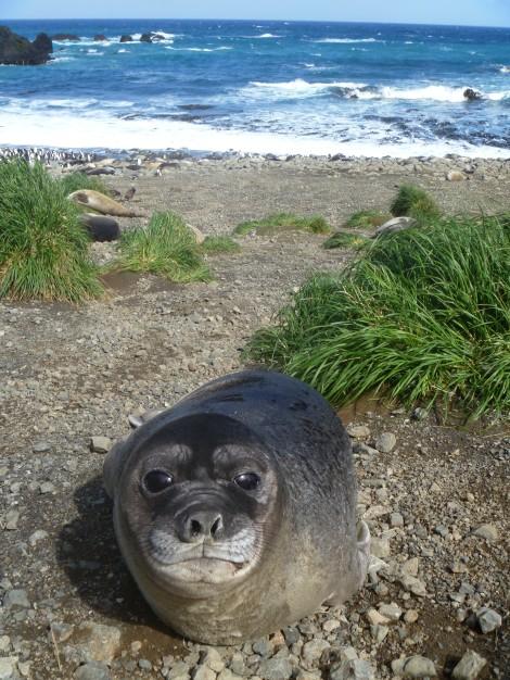 Elephnat seal Weaner2_ Jaimie Cleeland