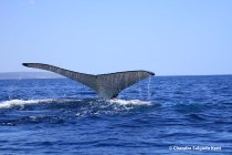 Humpback whale in Geographe Bay by Chandra Salgado Kent-2-1