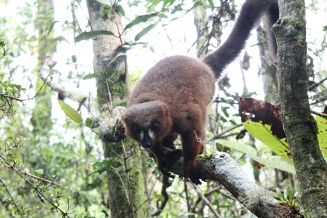 Red-bellied lemur - Copyright Avery Lane, Washington State University (2)