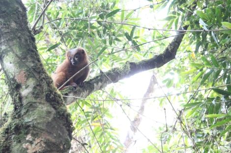 Red-bellied lemur - Copyright Avery Lane, Washington State University
