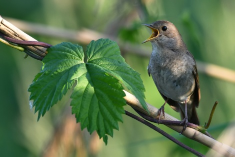 Fig_3_Thrush_nightingale