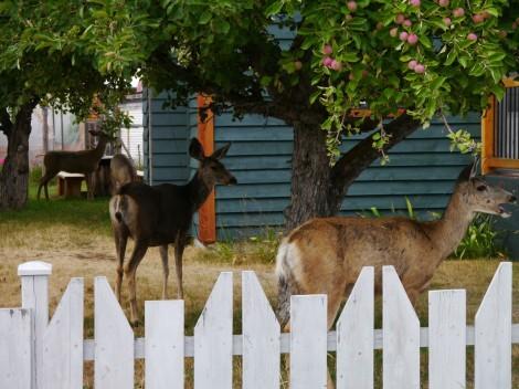 Fig 1 - Mule deer - Craig DeMars
