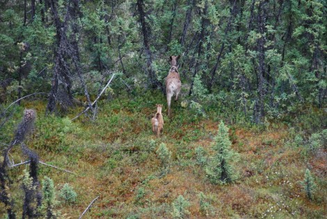 Fig 4 - Boreal caribou mum and calf - Craig DeMars