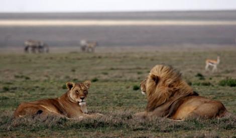 Lions - Meggan Craft