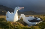 A pair of wandering albatrosses on their nest. Photo by H Weimerskirch.