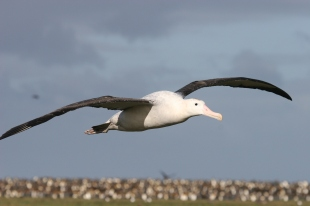 Male wandering albatross in flight returning to the colony. Photo by C Guinet.