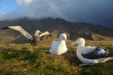 A pair of adult wandering albatrosses on their nest, with a juvenile individual practising flight in the back ground. Photo H Weimerskirch.