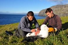 Researchers on Crozet fitting a transmitter on a wandering albatross. Photo by David Gremillet.