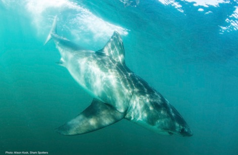 05Great white shark_Alison Kock_Sharkspotters_South Africa