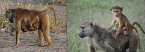 Figure 10. Infant baboons are born able to cling to their mother, and they ride ventrally for the first several months of life as shown by the female infant on the left. During this stage they have a black coat, in contrast to the golden-brown coats of older animals. At 2-3 months of age they learn to ride on the mother's back as shown on the right. By this age the black natal coat has begun to turn golden-brown, resulting in the patchwork appearance seen in this 4-month old male infant. Photo credits: Susan C. Alberts (left panel), Chelsea Weibel (right panel) .