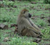 Figure 12. This 3-month old infant will not be harassed or threatened by other baboons when he is in the vicinity of this large, high-ranking male, who is highly tolerant and protective of him. Baboon males differentiate their own offspring from the offspring of other males and provide care to them; paternity analyses are pending for this infant. At the same time, this same male is suspected of killing two other infants in the six weeks prior to this photo being taken; most likely, those infants were not his biological offspring (paternity analyses are pending). Photo credit: Susan C. Alberts.