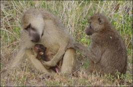 Figure 13. Adult males can be benevolent figures in an infant baboon's life, as shown here. The adult male on the left is holding an infant who may or may not be his biological offspring; males can be benevolent or violent towards non-offspring and infants must correctly navigate their complicated social landscape in order to survive. Note the considerable difference in coat color between the male on the left and the female on the right: the Amboseli baboon population is composed mostly of yellow baboons (Papio cynocephalus) but some natural hybridization occurs with nearby populations of olive baboons (P. anubis), which are darker, producing great variation in coat colors in Amboseli. Photo credit: Elizabeth A. Archie.