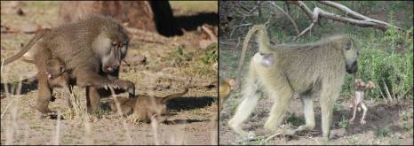 Figure 14. Left: an adult male protecting a young juvenile (screaming, between his legs) against an older one (crouching in front of the male). Right: an adult male during the act of infanticide. Instead of killing the infant quickly with his teeth, as is often observed, this male 'kidnapped' the infant and kept it from its mother until it died of dehydration. Note again the difference in coat color between these two males; the male on the left shows clear evidence of being a hybrid yellow-olive baboon, while the male on the right shows the typical yellow baboon coat color. Photo credits: A. Catherine Markham (left) and Raphael S. Mututua (right).