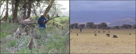Figure 2. The study subjects are habituated to the presence of human observers and go about their daily lives un-interuputed while they are being observed. Left: Senior Observer J. Kinyua Warutere, who has been with the project since 1995, collecting daily monitoring data. Right: Amboseli often provides excellent observation conditions. Here, the author observes baboons on a short-grass plain. Photo credits: Jeanne Altmann (left), Robert Zimmerman (right).