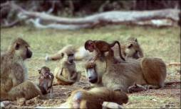 Figure 3. Baboons are intensely social animals, and social interactions and relationships – both affiliative and antagonistic – are a highly salient component of their environment. On the right, a young infant climbs and plays on an adult male. At least, an adult female sits near here infant. They are surrounded by other members of their social group. Photo credit: Jeanne Altmann, taken Oct 1990, in the project's 19th year.