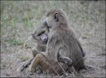 Figure 4. Social relationships affect an individual's access to food and other resources, its access to information, and its vulnerability to predation. Social relationships can also represent protection against other baboons who are threatening or competitive. Probably for these reasons, individuals form social bonds early in life, and these bonds may persist for years. This is especially true for females, who remain throughout life in the social group into which they were born; males tend to move between social groups periodically. Photo credit: Chelsea Weibel.