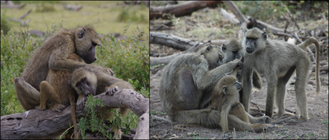 Figure 5. Left: One adult female grooms another, while the groomer's yearling infant nurses. Right: An adult female grooms her 16-month old daughter (foreground) while two adolescent females groom just behind them. Social grooming – picking through the fur of a partner to remove dirt, debris, and ectoparasites – is a frequent affiliative behavior in baboon social groups. Photo credits: Elizabeth A. Archie (left), Susan C. Alberts (right).