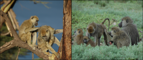 Figure 6. The number and strength of a female's social bonds – measured via grooming relationships and other social interactions – have been linked to offspring survival, adult survival, or both, in three different wild baboon populations, including Amboseli. Photo credits: Susan C. Alberts