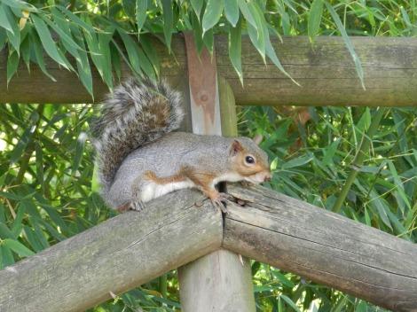grey squirrel_creditFrancescaSanticchia