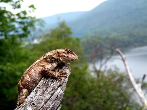 Maternal Stress Lizards 1