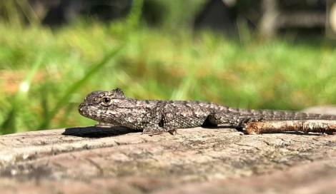 Maternal Stress Lizards 5