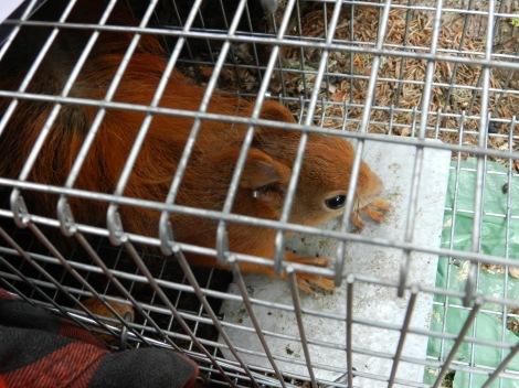 red squirrel_trapping_credit_FrancescaSanticchia