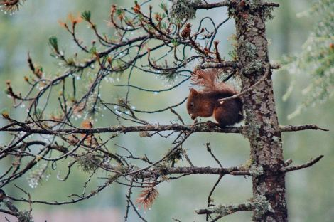 red_squirrel_credit_Ambrogio_Molinari