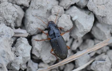 Harpalus rufipes