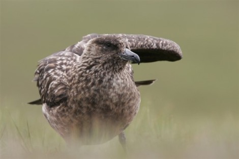 Adult Great Skua