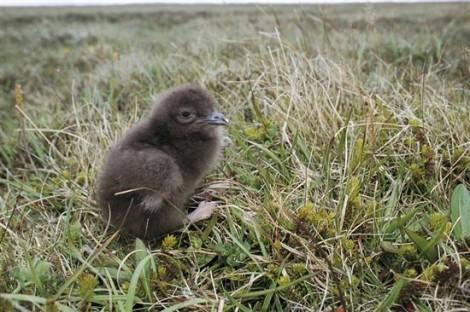 Arctic skua chick