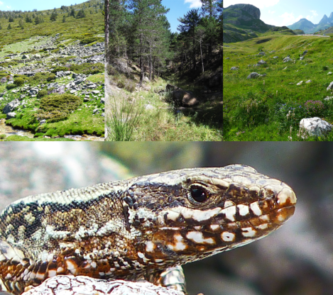 Fig 1 Common Wall Lizard - Credit Salvador Herrando-Perez