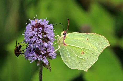 Common_brimstone_butterfly_(Gonepteryx_rhamni)_male_5