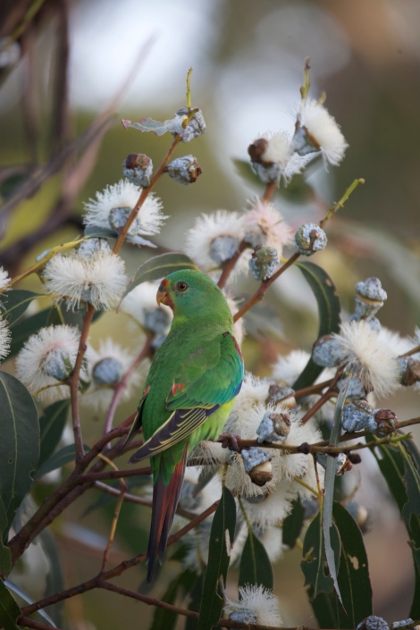 2. swift parrot in blue gum blossoms