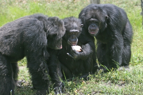 Three_chimpanzees_with_apple