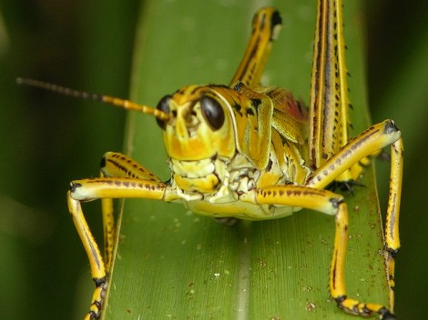Locust by touterse, flickr