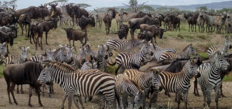 Zebra c Colin Beale