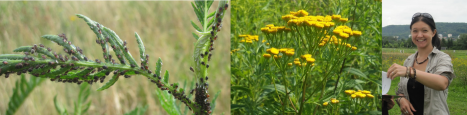 Tansy aphids