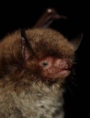 Daubenton's bat Myotis daubentonii. ©Simon Ghanem