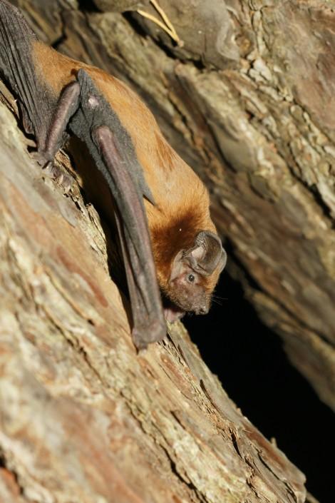 Noctule bat Nyctalus noctula. ©Simon Ghanem