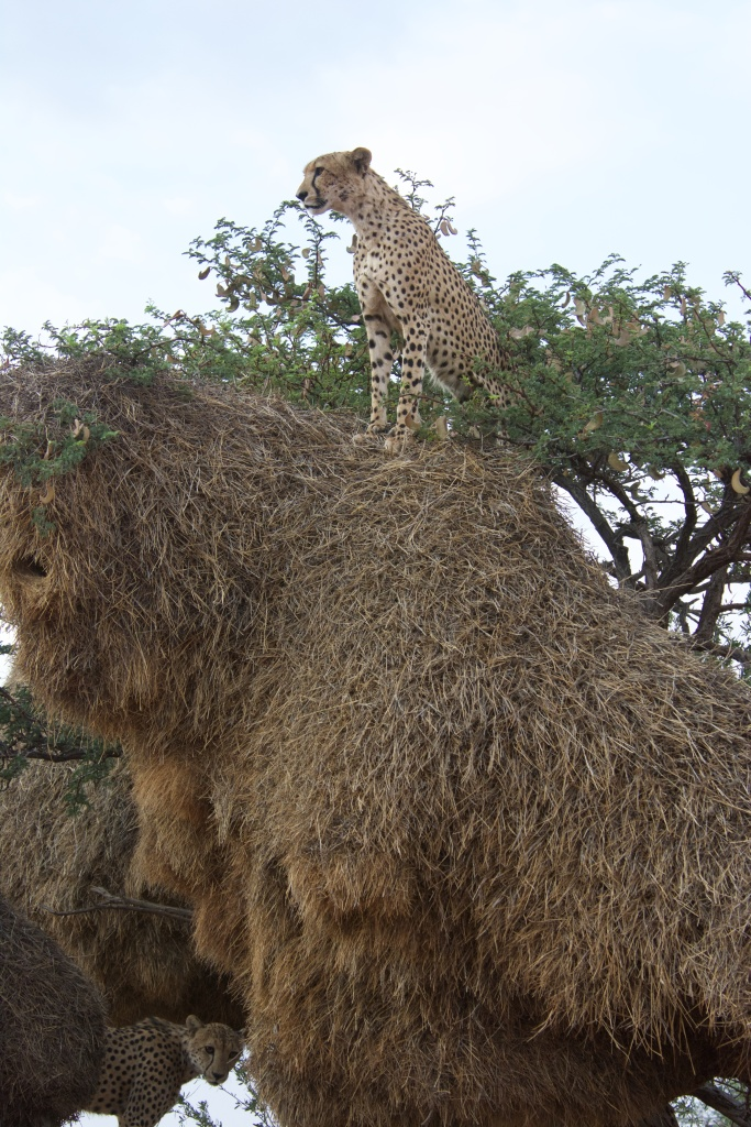 A cheetah sitting on top of a sociable weaver nest in the top of a tree, looking out over the landscape. Another cheetah is seen lower in the tree underneath the nest