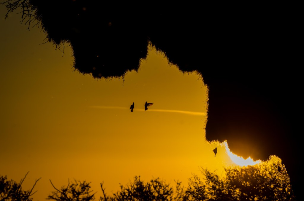A sunset image with very deep yellow sky, that silhouettes a sociable weaver nest, and three weaver birds flying back up the nest