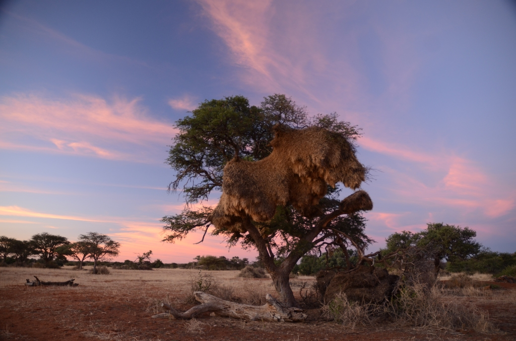 An acacia tree with a large sociable weaver nest, that takes up around half of the canopy of the tree, set against the colours of the setting sun in the sky