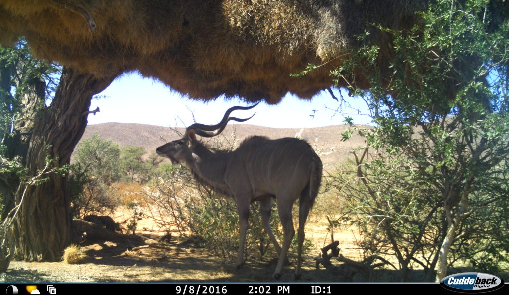 A camera trap photo of a greater kudu in the shade underneath a weaver colony nest
