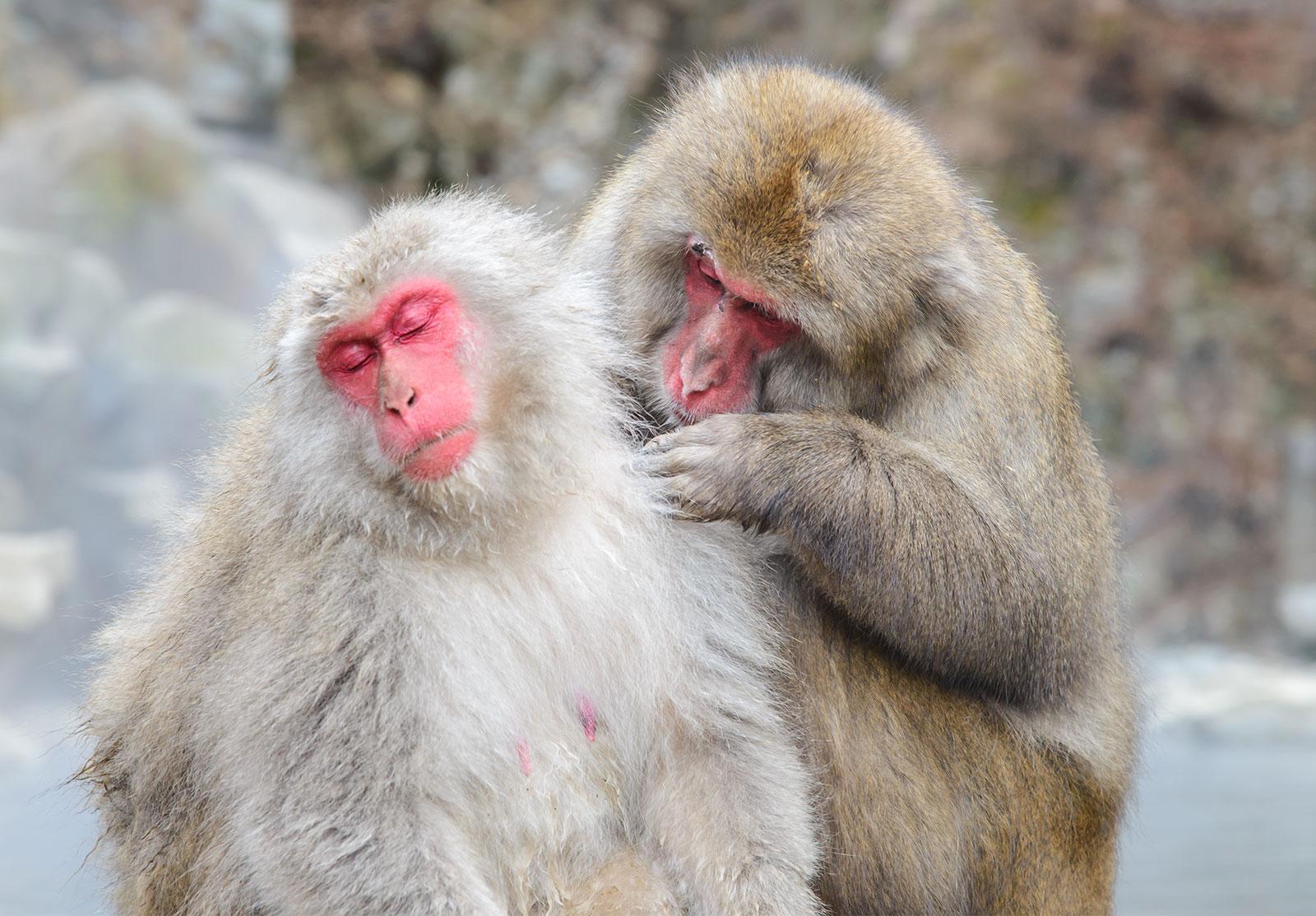 japanese-macaque-britannica-pratchaya-lee